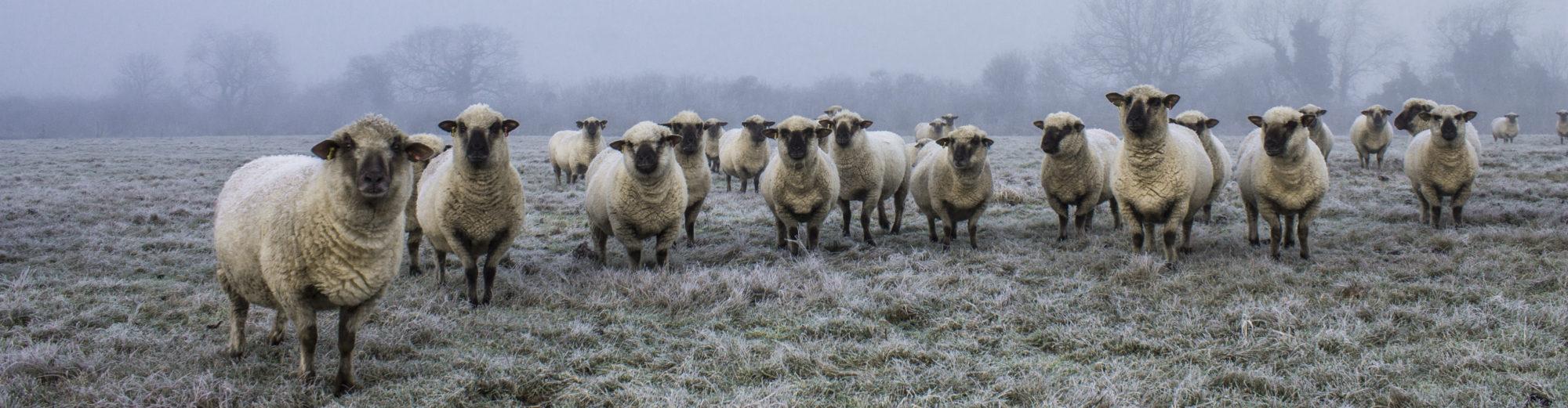 Dorset Down Sheep Breeders